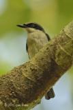 Woodshrike, Large (male)