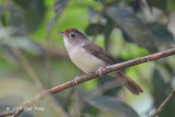 Babbler, Scaly-crowned