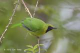 Leafbird, Lesser Green