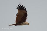 Kite, Brahminy @ Seletar