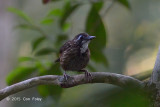 Babbler, Large Wren (male)