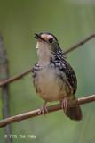 Babbler, Striped Wren