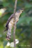 Cuckoo, Malaysian Hawk @ Temiggol Forest