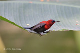 Sunbird, Crimson (male) @ Venus Loop