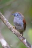 Babbler, Chestnut-winged