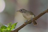 Babbler, Moustached (juvenile)