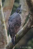 Eagle, Blyth's Hawk (adult)