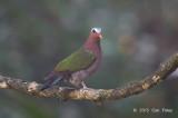 Dove, Emerald (male)