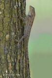 Changeable Lizard (female)