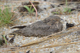 Nightjar, Savanna @ Tuas