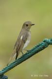 Flycatcher, Blue-and-white (female) @ Botanic Gardens