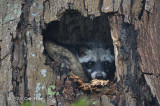 Asian Palm Civet @ Bidadari