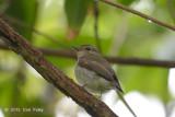 Flycatcher, Narcissus (female) @ Bidadari
