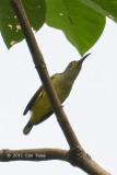 Spiderhunter, Thick-billed
