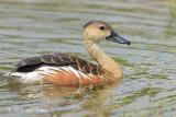 Duck, Wandering Whistling @ SBG