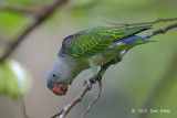 Parrot, Blue-rumped (male) @ Venus Drive