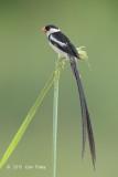 Whydah, Pin-tailed (male) @ Punggol Bahrat