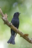 Cuckoo, Asian Drongo @ Bidadari