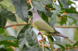 Pigeon, Pink-necked Green (male) @ Bidadari