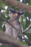 Owl, Barred Eagle (male) @ BTNR