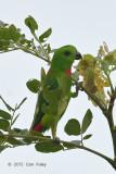 Parrot, Blue-crowned Hanging (male) @ Bishan