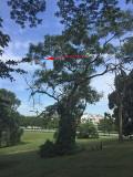 Grey Nightjar in Tree @ Bidadari