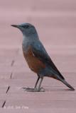 Thrush, Blue Rock (male - philippensis) - The Pinnacle @ Duxton