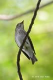 Flycatcher, Asian Brown @ Bidadari