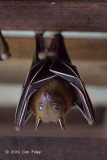 Lesser Dog-faced Fruit Bat