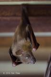 Lesser Dog-faced Fruit Bat @ SBWR