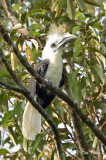 Hornbill, White-crowned (male)