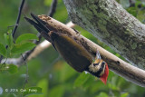 Woodpecker, Olive-backed (male)