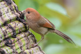 Parrotbill, Vinous-throated @ Taipei Botanical Gardens