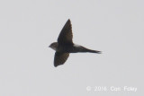 Swift, Pacific