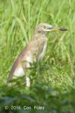 Heron, Indian Pond @ Bidadari