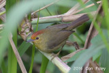 Babbler, Rufous-capped