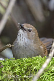 Warbler, Taiwan Bush