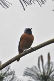 Redstart, Duarian (male)