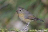 Bush-Robin, Collared (female)