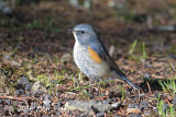 Bluetail, Red-flanked