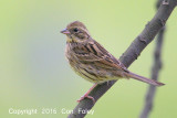 Bunting, Black-faced (female)