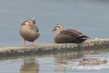 Duck, Eastern Spot-billed