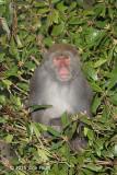 Macaque, Taiwan
