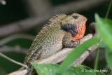 Changeable Lizard (male)