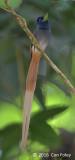 Flycatcher, Blyth's Paradise (male)