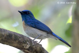 Flycatcher, Malaysian Blue (male)