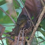 Bulbul, Olive-winged (nest) @ Ubin
