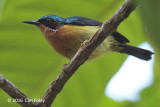 Sunbird, Ruby-cheeked (male)