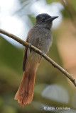 Flycatcher, Blyth's Paradise (female)