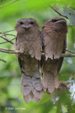 Frogmouth, Large (pair)